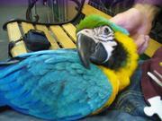 Tдома,  поднятые и зарегистрирован синих и золотых попугаи ара для прод